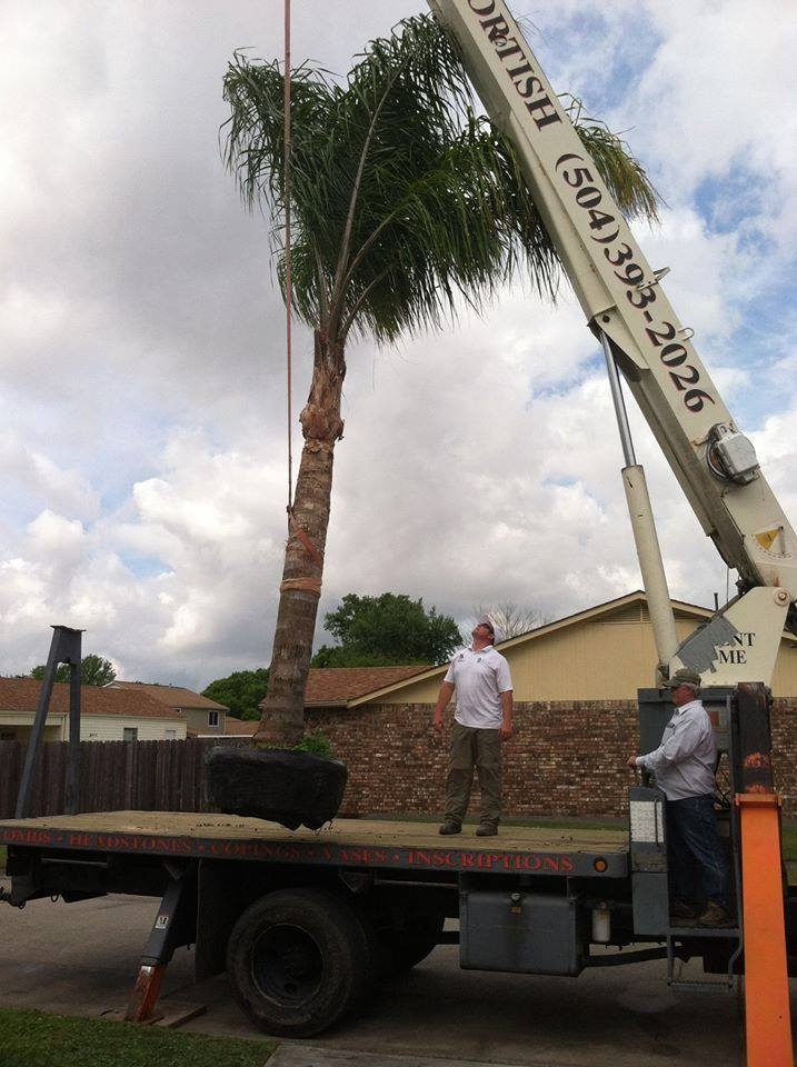 Professional palm tree planting New Orleans